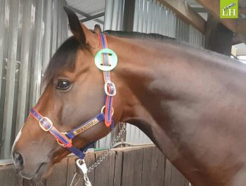 Just six already Grand Prix handsome Oaks Volta at home ready to load