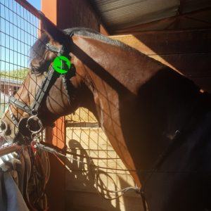 Oaks Volta looking out his stable at the Adelaide Showgrounds